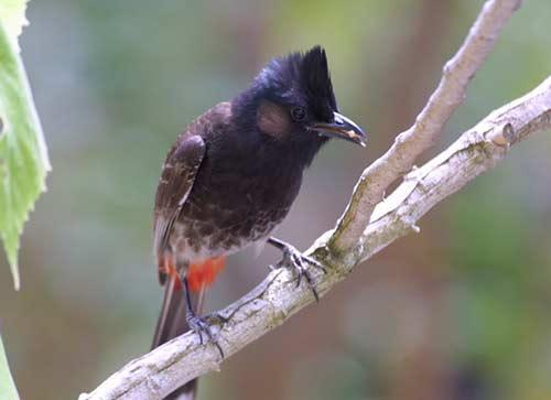 Chào mào đít đỏ - Pycnonotus cafer