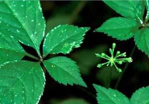 Sa Pa: Trồng cây dược liệu làm thuốc