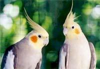 Vẹt xám cũng thích bạn tình đối lập