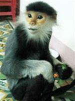 Quảng Nam: Phát hiện, cứu hộ một con voọc chà vá chân nâu quý hiếm