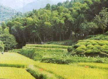 Rừng tre ở Mizoram