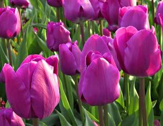 Vì sao hoa biết mùa xuân đến?