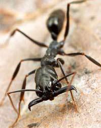 Loài kiến với tốc độ cắn kỷ lục