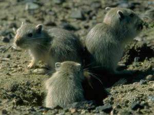 Loài chuột nhảy lớn - Rhombomys opimus