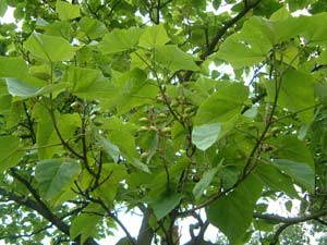 Paulownia - Loài cây cứu rừng