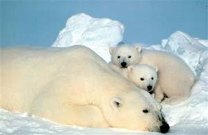 Bộ phận sinh dục của gấu Bắc cực ngày càng nhỏ
