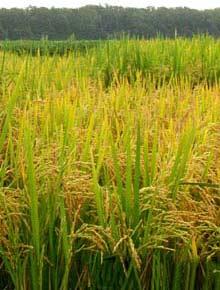 Năng suất lúa sẽ tăng 30-50% trong 10-15 năm tới nhờ các giống mới