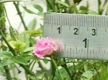Hoa hồng có đường kính... 1cm