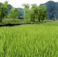 IRRI giúp VN phòng bệnh dịch hại trên lúa