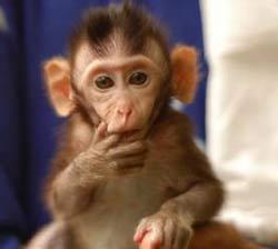 Loài khỉ có khả năng bắt chước từ khi mới sinh