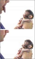Một con khỉ macaque sơ sinh bắt chước nhà nghiên cứu le lưỡi