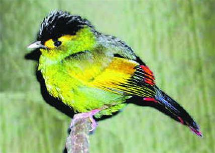 Loài chim quý hiếm mới Bugun Liocichla