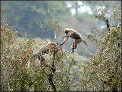Loài khỉ cũng biết chọn quả chín