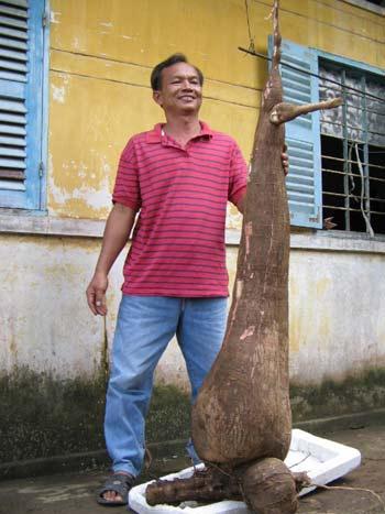 Củ khoai mì nặng gần 60 kg