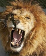 Vì sao có những gã sư tử không bờm?