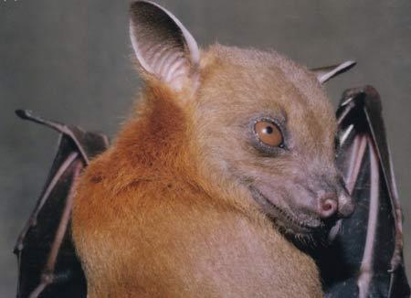 Dơi chó Ấn - Cynopterus sphinx