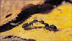 """Gây một cuộc """"nội chiến"""" để tiêu diệt loài kiến"""