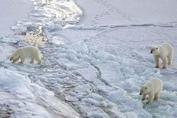 Gấu Bắc Cực có thể bị tuyệt chủng?