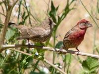 Chim sẻ mẹ ưu tiên con trai hơn con gái