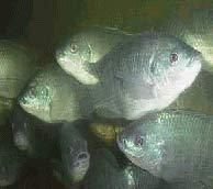 Đổi giới tính cho cá ở Trung Đông