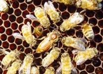 Ong chúa càng lăng nhăng, đàn ong càng khoẻ mạnh