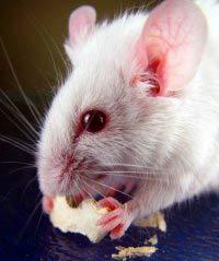 Nhân bản chuột từ tế bào bạch cầu