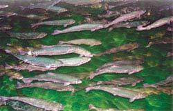 Lâm Đồng: Thử nghiệm nuôi cá hồi nước lạnh