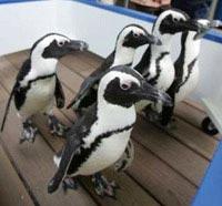 Chim cánh cụt diễu hành tại công viên Hải Dương, Nhật Bản