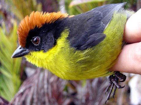 Phát hiện loài chim đa sắc mới ở Colombia