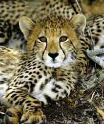 Nam Phi: Báo đốm sinh một lứa 6 con