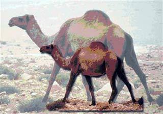 Lạc đà cổ đại to như con voi