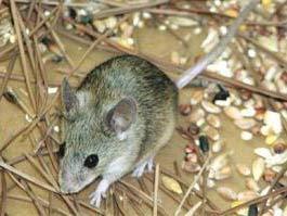 Phát hiện một loài chuột mới tại đảo Cyprus