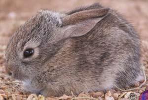 Thỏ con học tập về mùi nhờ pheromone trong sữa mẹ