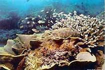 San hô chết hàng loạt trong các vịnh