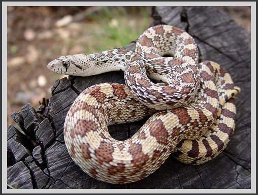 Một loài rắn ở Sonoran