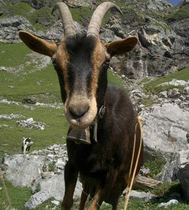 Loài dê đã đi xuyên lục địa cách đây 10.000 năm