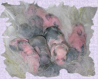Vai trò của chất pheromone trong việc phát triển khả năng nhận biết mùi ở động vật hữu nhũ mới sinh