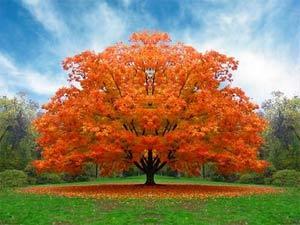 Lá cây đỏ khi thu đến để chống stress
