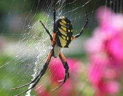 Loài nhện bám vào tường nhờ tơ
