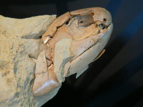 Australia: Phát hiện hóa thạch một loài cá có niên đại 380 triệu năm