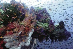 Bệnh sâu răng và sự chết của rạng san hô