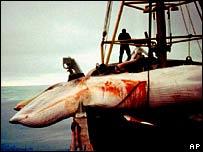 Iceland phạm luật cấm săn cá voi
