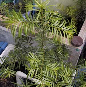 Hà Giang: nhân giống thành công 4 loài thực vật hạt trần quí hiếm