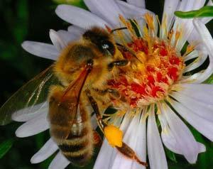 Giải mã cuộc sống bí ẩn của ong mật