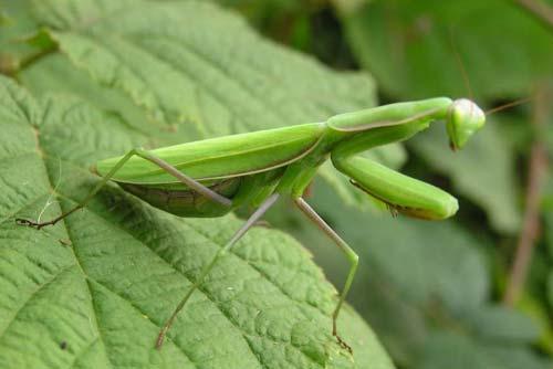 Bọ ngựa - Mantis religiosa