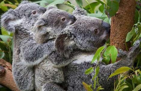 Koala ra đời bằng phương pháp thụ tinh nhân tạo mới
