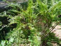 Hà Giang nhân giống thành công bốn loài cây quý