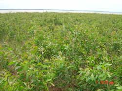 Bình Phước: Nghiệm thu đề tài khoa học trồng rừng tràm Melaleuca trên vùng đất bazan bán ngập