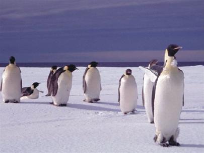 Vì sao chim cánh cụt đi lạch bạch?