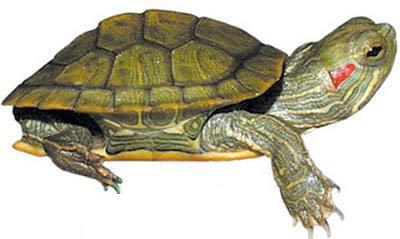 Rùa tai đỏ